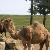 Man, dog and five camels rescued in Australia