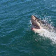 A great white shark attacked and killed a woman in Bailey, Maine.