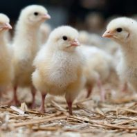 Germany To Ban 'Chick Shredding' From 2022 in Global First