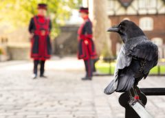 Tower of London 'Queen' Raven Missing, Believed Dead