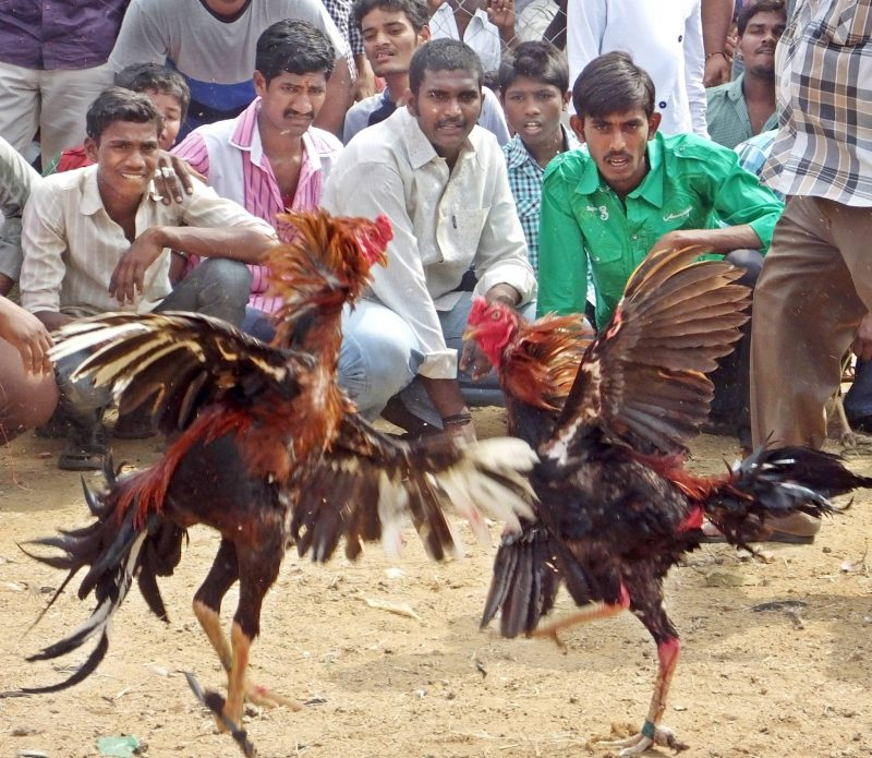 Cockfight India