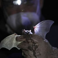 Unusual bats were found in Mexico City
